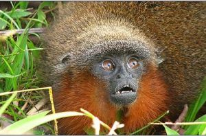 Curiosities of the web new species gorilla. Courtesy latinus.online