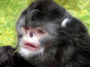 Save New species of Gorillas in Africa