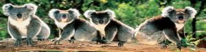 Latinus view Australian koalas