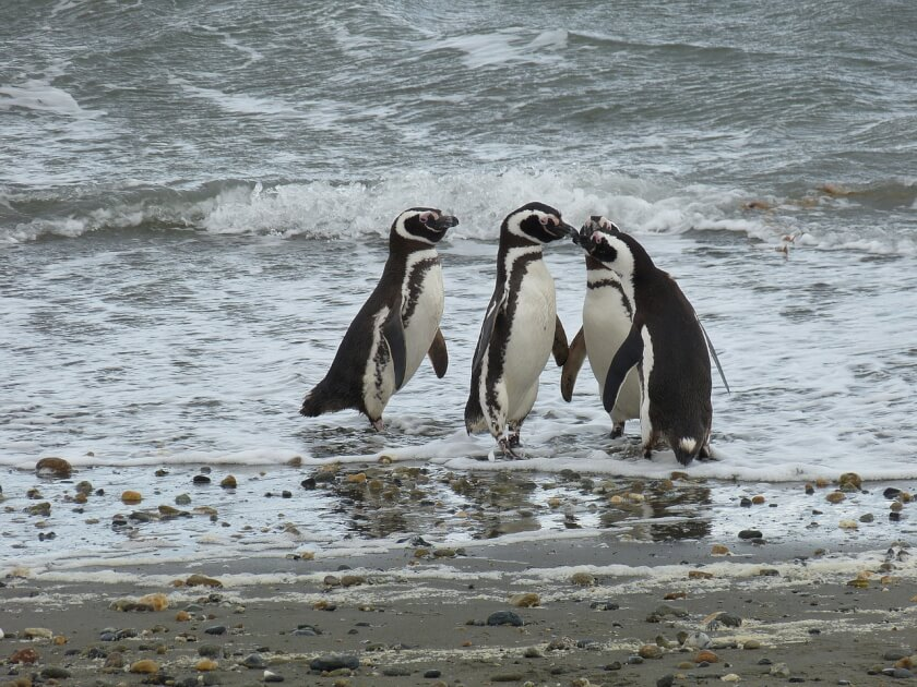 Penguins in patagonia chile